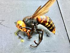 駆除したスズメバチ